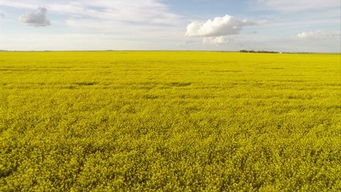 Aerial drone flying closely over a growing canola field in Saskatchewan, Canada.