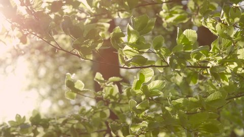 SLOW MOTION CLOSE UP: Green leaves on lush tree branches in young forest swaying in summer breeze