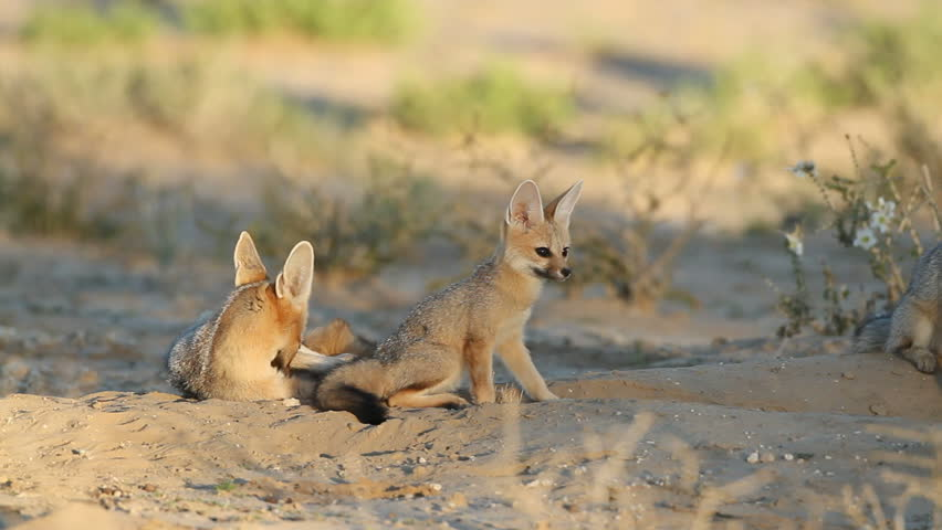 Cape foxes (Vulpes chama) at their den, Kalahari desert, South Africa