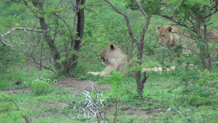 Injured lion wags his tail
