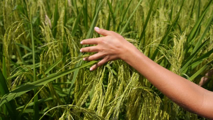 Woman Hand Touching Green Grass in Rice Fields. Slow Motion.