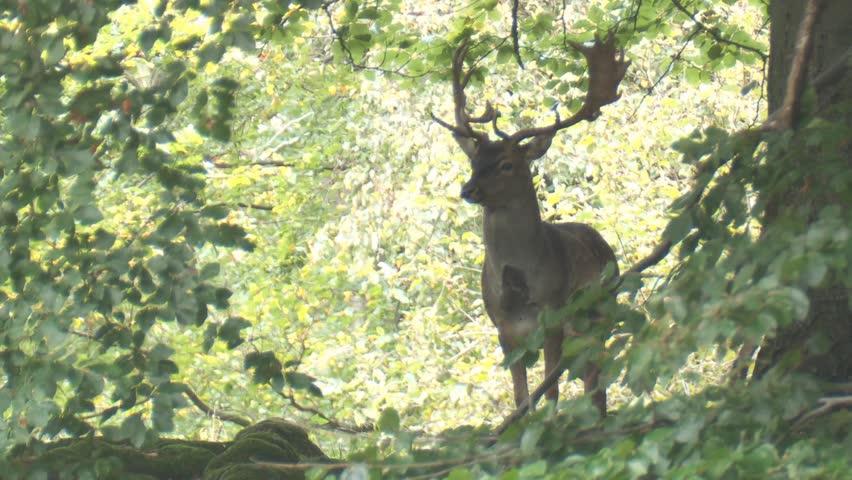 Fallow deer | Shutterstock HD Video #1818974