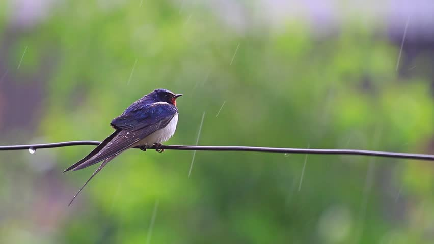 swallow on the wire in the rain
