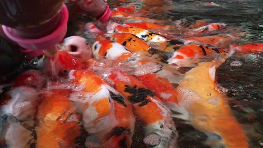 Feeding fancy carp fish stock footage video 33563446 for Feeding koi fish
