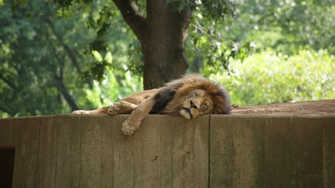 A lion lying down looks into the camera