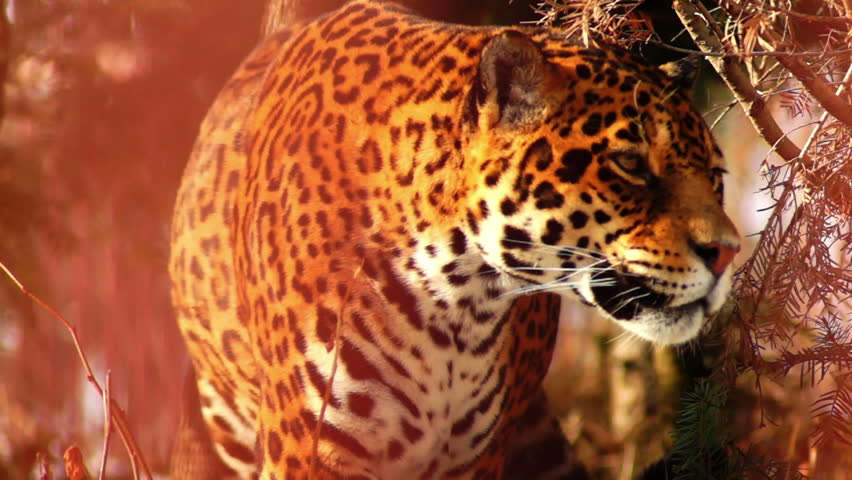 Jaguar animal in forest 5415104 shutterstock graceful jaguar hd stock footage clip voltagebd Gallery
