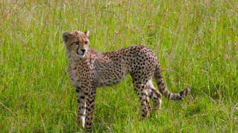 Cheetah Cub Walking; Maasai Mara Kenya Africa