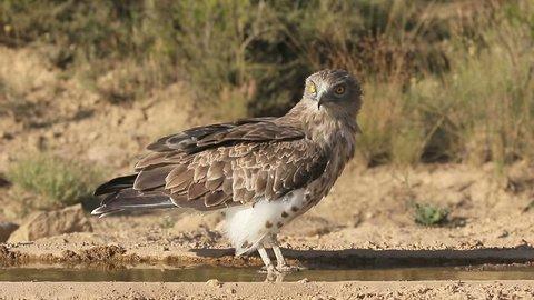 Short-toed eagle, Circaetus gallicus, Single bird by water, Spain, July 2016
