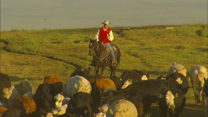 WAIMEA, HAWAII - CIRCA 2008: Paniolos (Hawaiian Cowboys) Herding Cattle in the Early Morning