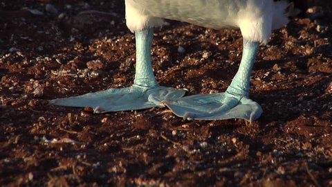 Blue-footed booby, Sula neboxuii HD, UP26084