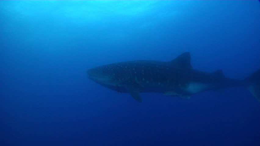 Whale shark swimming in bluewater, Rhincodon typus HD, UP25443