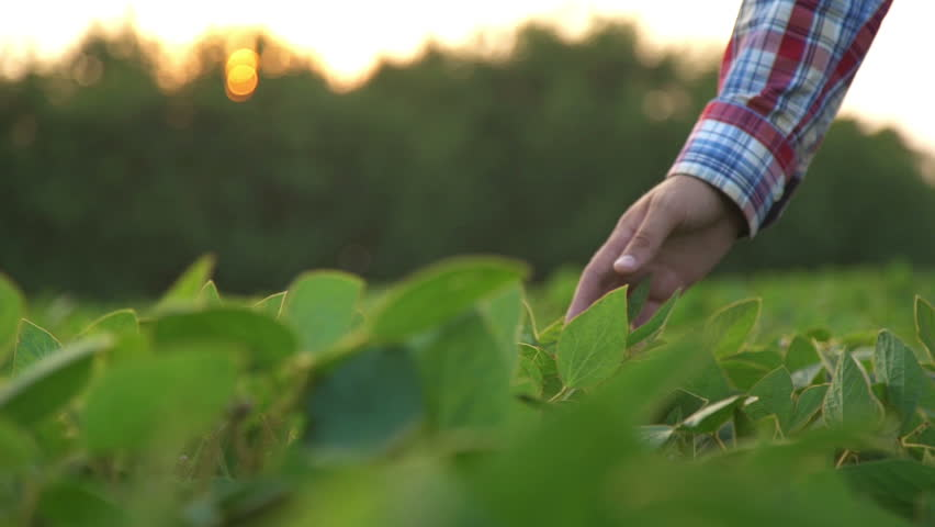 Male farmer's hands in soybean field, responsible farming and dedicated agricultural crop protection, selective focus. Slow motion   Shutterstock HD Video #18505580