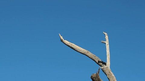 Fantastic view of hawk, wings spread, as it lands on tree branch, slowed motion. 1080p