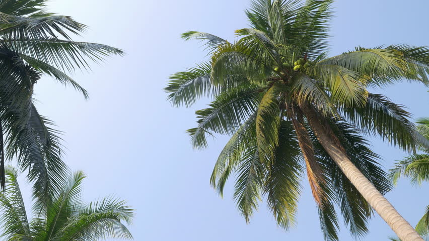 Looking up to the sky and tropical palm trees