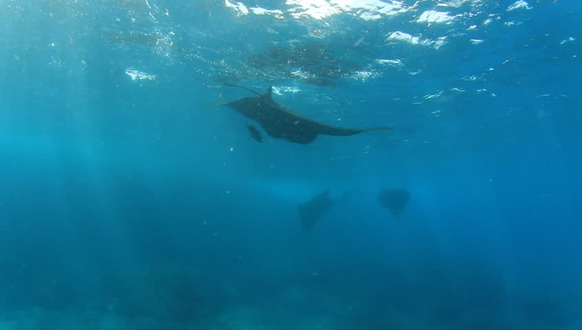 Manta rays | Shutterstock HD Video #18592394