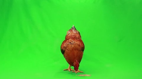 rooster pecks wheat on on the green screen