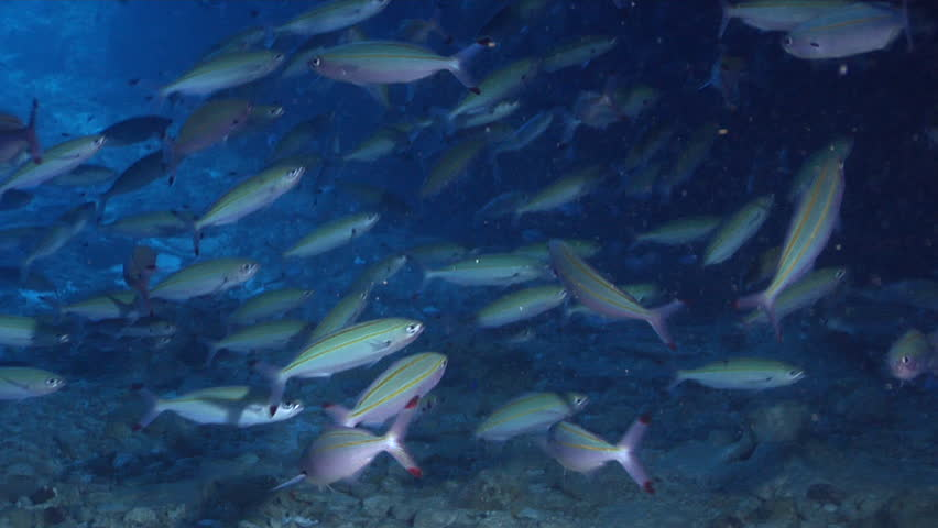 Double-lined fusilier swimming and schooling in cavern, Pterocaesio digramma HD, UP24630   Shutterstock HD Video #18617144