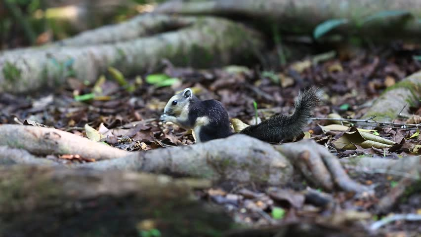 Life squirrel small tropical country.  | Shutterstock HD Video #18666734