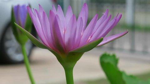 LOTUS FLOWER NATURE BACKGROUND