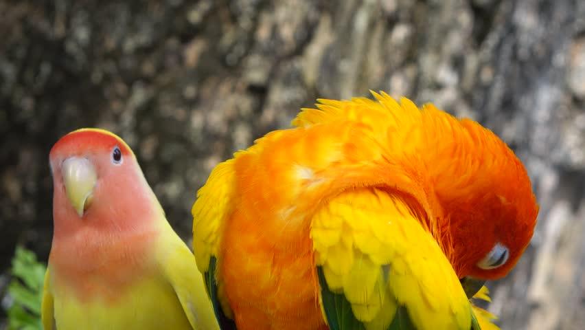 Orange parrots