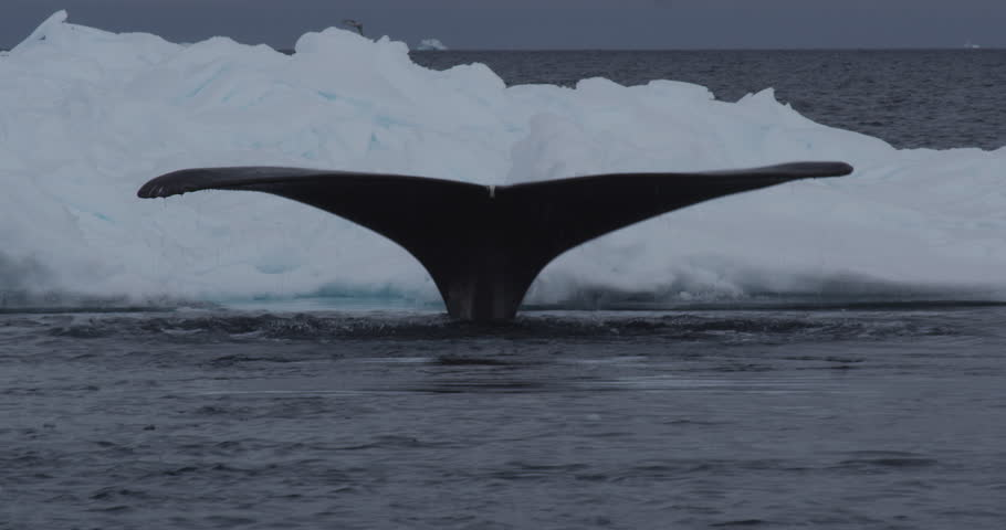 Right whale breaths steam and shows fluke as it dives under iceberg - A026 C183 0619CZ 001