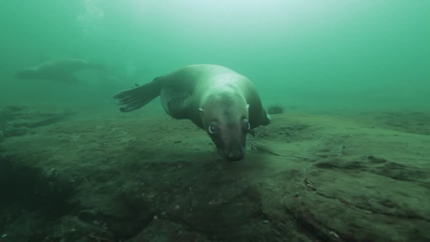 Female Steller Sea Lion at Hornby Island, BC shows curiosity towards the diver.