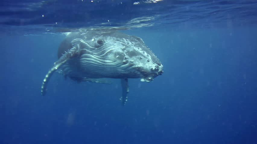 Curious Humpback whale calf comes very close to us front on after coming up to breath, Kingdom of Tonga