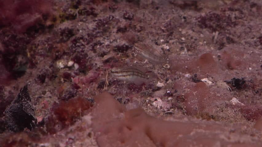 Header of Amblygobius buanensis