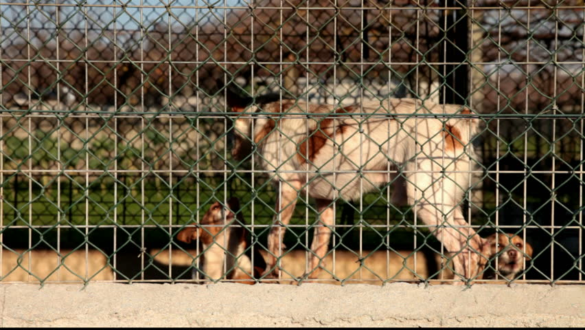 Aggressive dogs locked and tied in a kennel