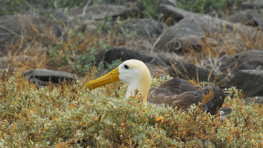 Close up of a nesting waved albatross on isla espanola in the galapagos islands   Shutterstock HD Video #18754934