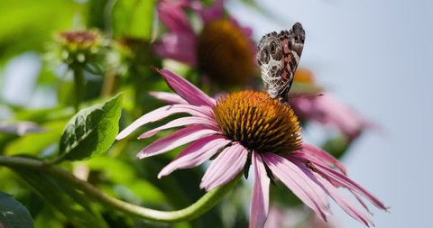 American painted lady butterfly foraging on echinacea flower.