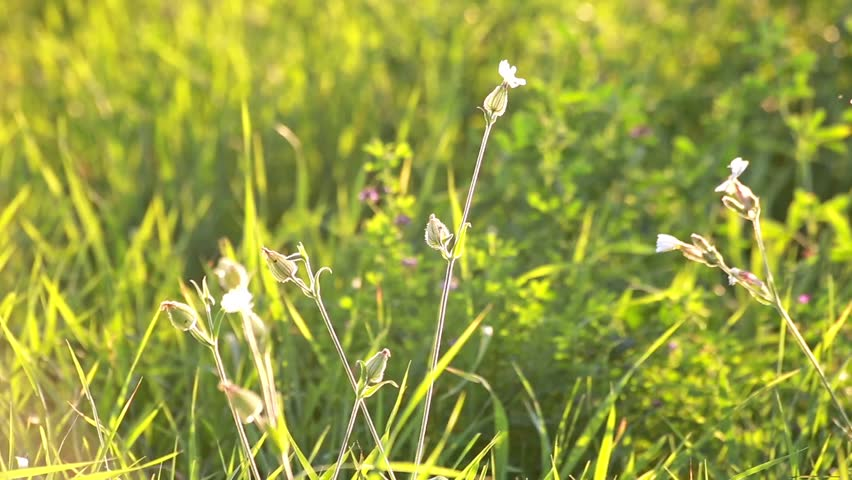 Header of Silene vulgaris