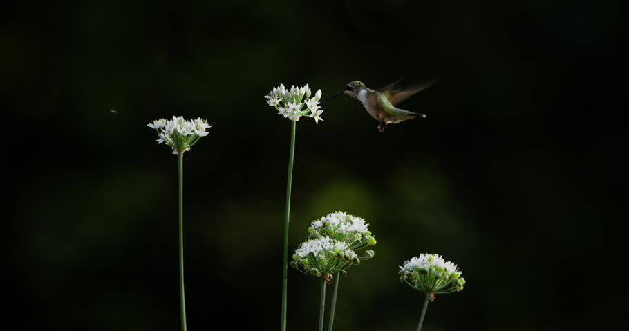 Ruby-throated hummingbird visiting garlic chive flowers. | Shutterstock HD Video #18869594