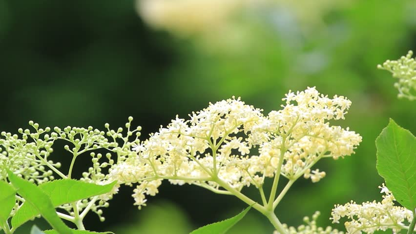 Elderflower is last flowers of spring are the most intense healing properties. Rain fed, bathed in the light of the sun getting stronger and caressed by gentle winds of May 1