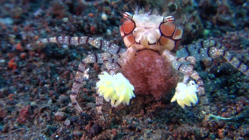 Boxer crab walking on black sand slope and muck, Lybia tessellata HD, UP29711