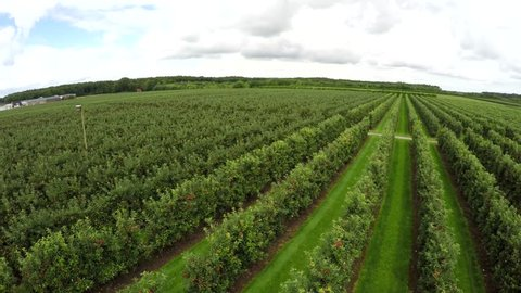 Aerial bird view drone flying backwards low over fruit orchard trees growing apples and pears healthy food production done on land trees perfectly straight placed in lines green leafs showing 4k
