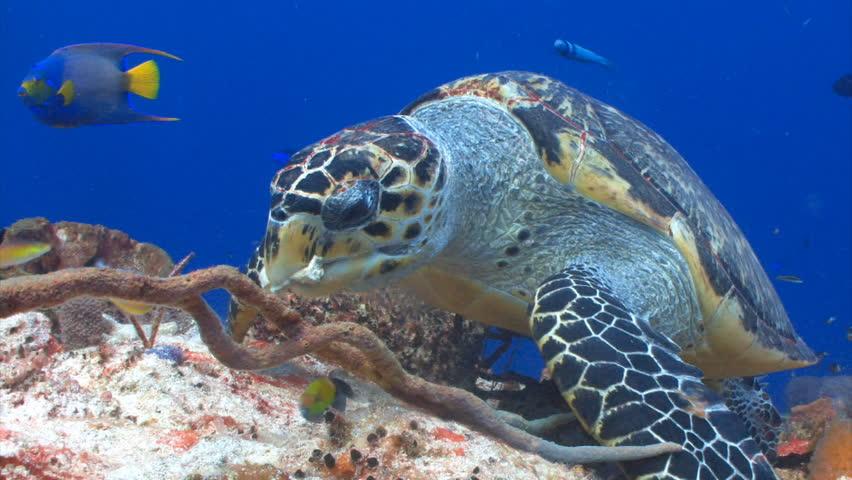 Hawksbill sea turtle feeding for a coral reef wall