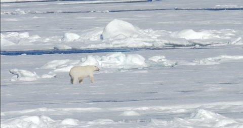 Polar bear walking on ice  Beautiful shot of Polar bear walking on ice in the sea at Spitsbergen Norway