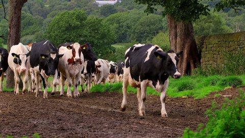 Holstein Friesian Cows Walking To Milking Shed; Biddulph Hall Farm Biddulph Staffordshire
