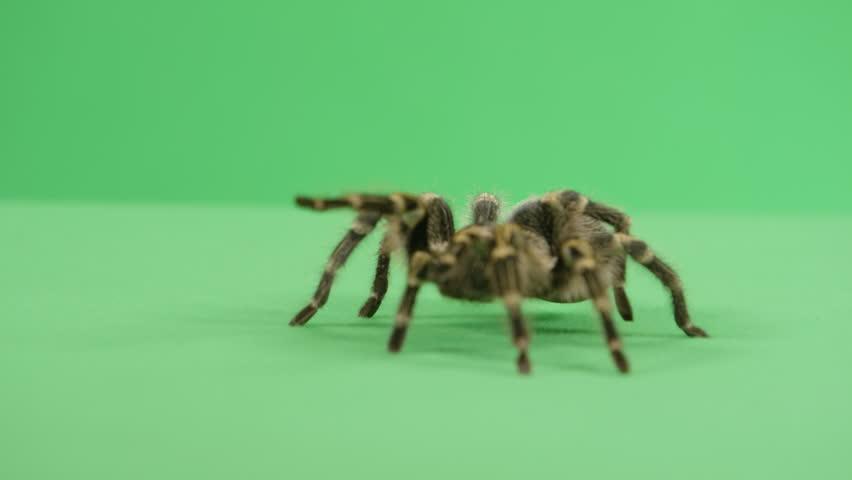 Tarantula walking towards the camera