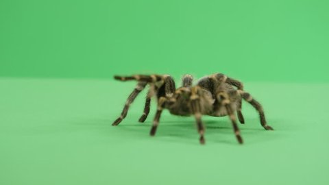 Tarantula walking towards the camera