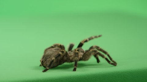 creepy crawly tarantula