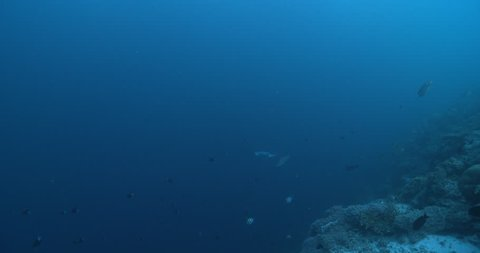 Reef manta ray swimming on coral reef, Manta alfredi 4K UltraHD, UP36132