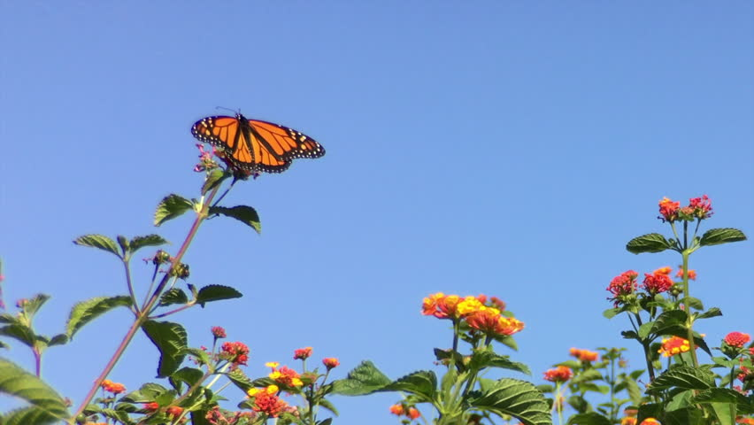 4K HD video of a Monarch butterfly, also known as milkweed butterfly, landing on orange lantana flowers and drinking nectar, The Monarch butterfly is considered an iconic pollinator species