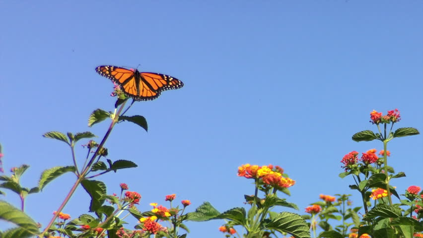 4K HD video of a Monarch butterfly, also known as milkweed butterfly, landing on orange lantana flowers drinking nectar, The Monarch is considered an iconic pollinator species, becoming endangered.