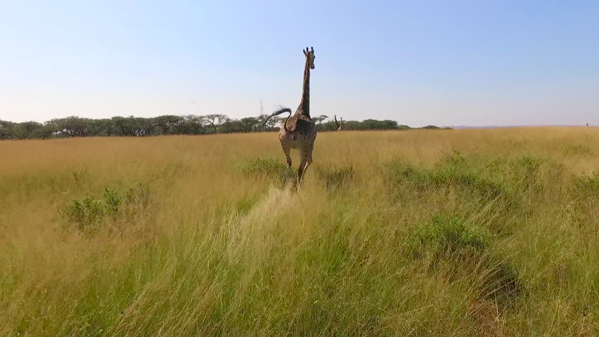 Stock video footage aerial view of the Savannah and giraffes