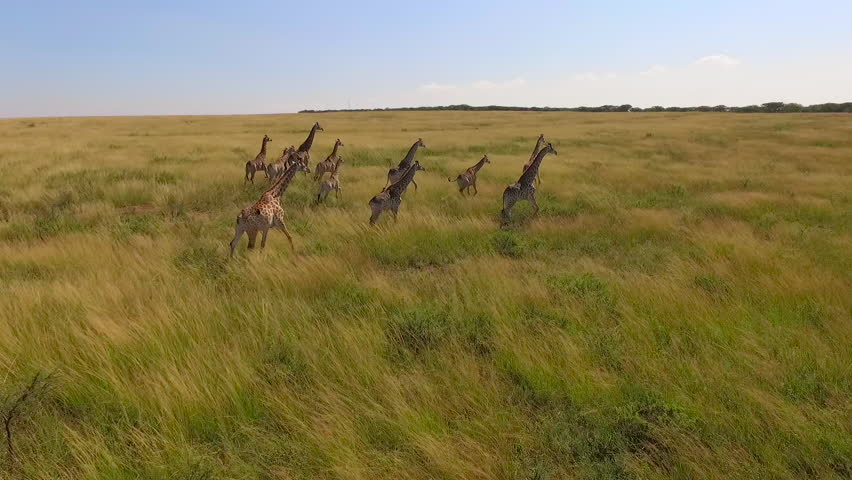 Stock video footage aerial view of the Savannah and giraffes | Shutterstock HD Video #19255087