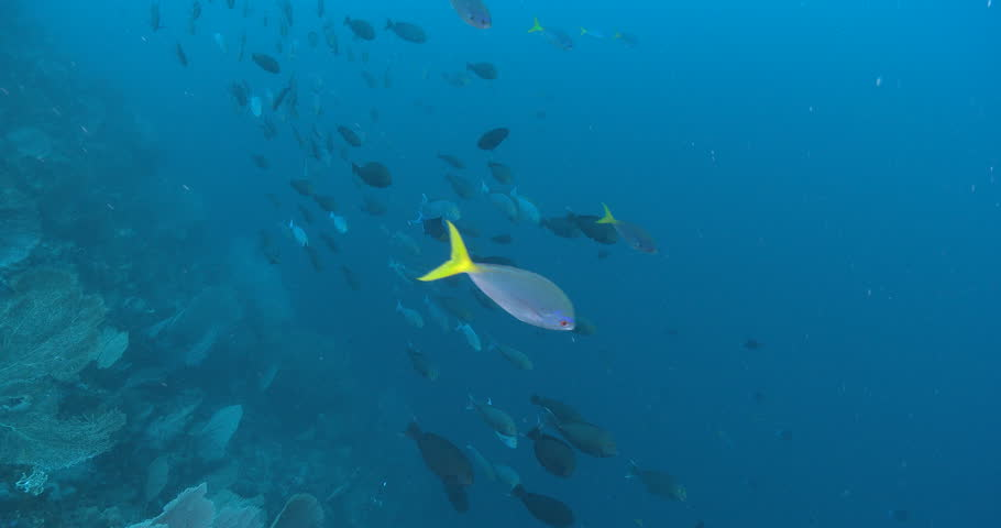 Yellow-mask surgeonfish swimming on wall, Acanthurus mata 4K UltraHD, UP38476