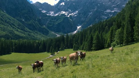 Aerial - Picturesque Alpine landscape in spring with cows on pasture