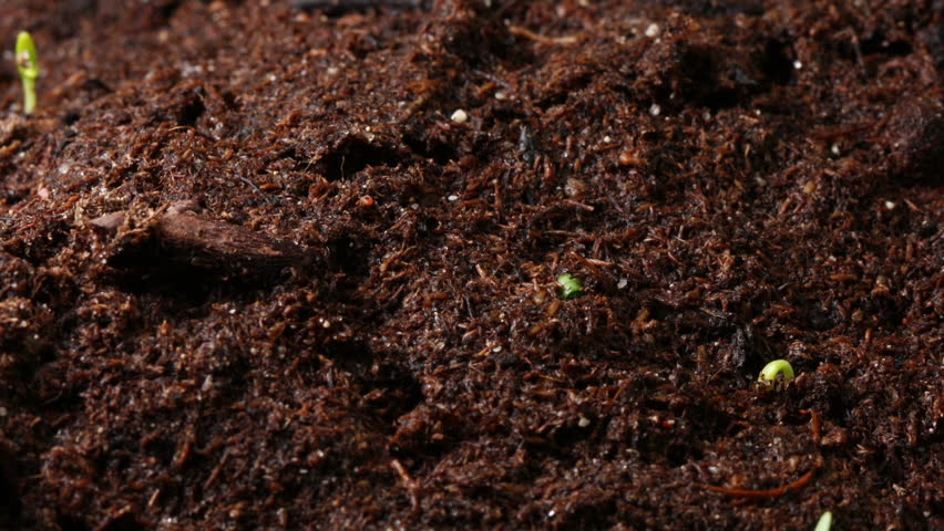 Growing seed of marigold timelapse